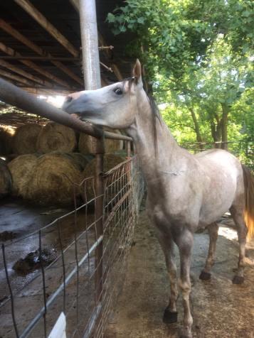 Bastrop grey stallion august 17
