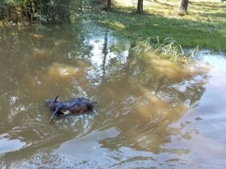 Flood Wed pig