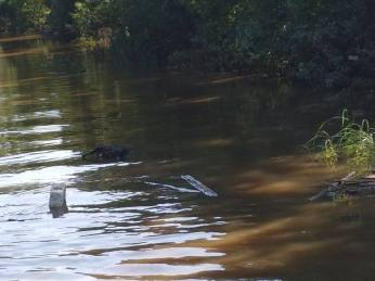 Flood Wed pig3