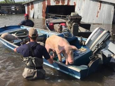 FloodPApig