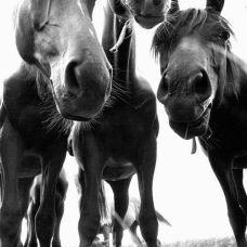 sh horses trio